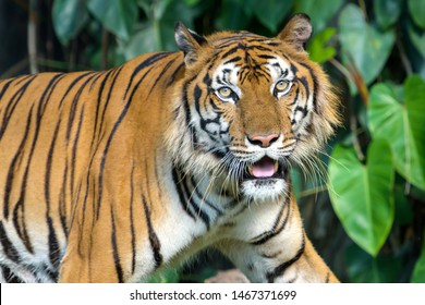 The tiger looked at me very scary. (Panthera tigris corbetti) in the natural habitat, wild dangerous animal in the natural habitat, in Thailand.