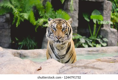 tiger looking for