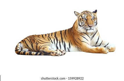 Tiger looking camera ,Tiger bengal action,Dangerous animal,Big hunter animal in the forest  and isolated on white background with clipping path.