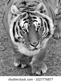 tiger looking for lunch beautiful animal