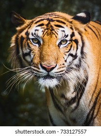 Tiger looking at me and get angry.