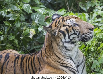 Tiger looking to the side with green foliage as background