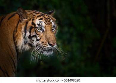 Tiger looking something.