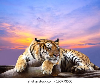 Tiger looking something on the rock with beautiful sky at sunset time
