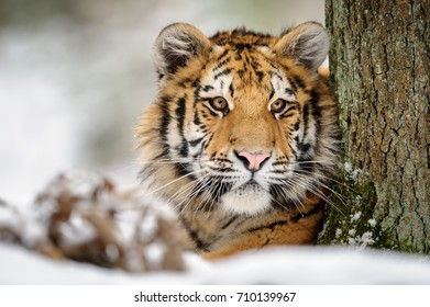 Tiger looking from the tree