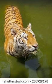 A tiger looking up in water.