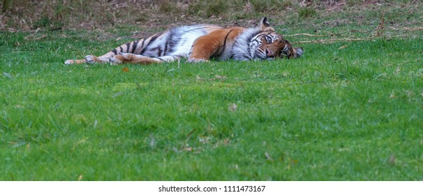 A tiger lying down in the grass