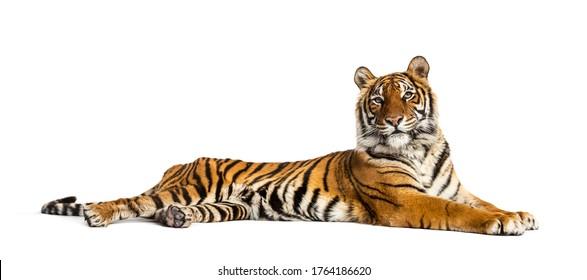 Tiger einzeln auf Weiß