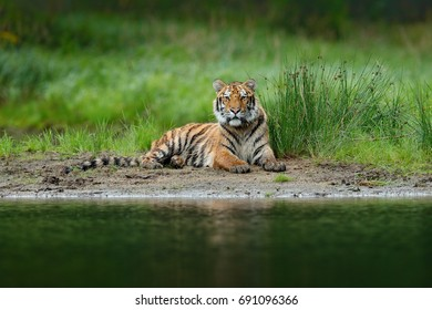 Tiger lying near the river. Wild cat in nature habitat. Tiger with green water grass. Dangerous animal, taiga in Russia. Wild cat in wetland.