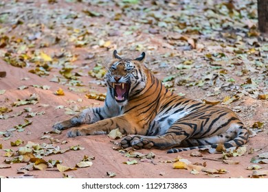 Tiger lying on pathway in jungle snarling