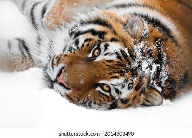 tiger lying in the snow isolated on white background