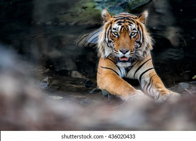 Tiger male in the watter/wild animal in the nature habitat/India, big cats, endangered animals, what a look, close up