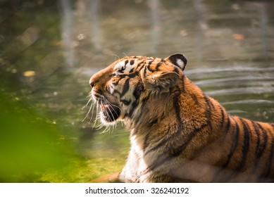 Tiger with mouth ajar photographed close-up through the grating on the background of greenery and water in bokeh