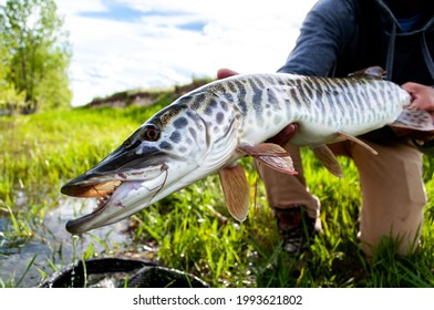 Tiger muskie caught and released while fly fishing in Montana  - Shutterstock ID 1993621802