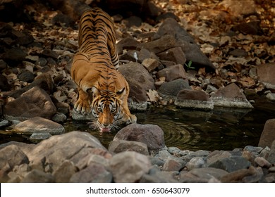 Tiger in the nature habitat. Tiger female drinking water. Wildlife scene with danger animal. Hot summer in Rajasthan, India. Dry trees with beautiful indian tiger, Panthera tigris