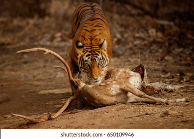 Tiger in the nature habitat. Tiger female with the fresh kill on the road. Wildlife scene with danger animal. Hot summer in Rajasthan, India. Dry trees with beautiful indian tiger, Panthera tigris