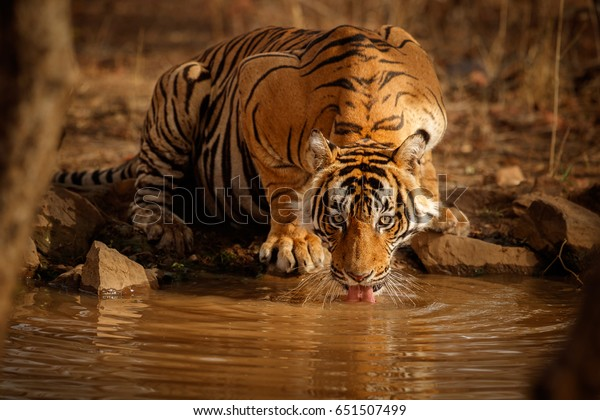 Tiger in the nature habitat. Tiger male drinking water. Wildlife scene with danger animal. Hot summer in Rajasthan, India. Dry trees with beautiful indian tiger, Panthera tigris