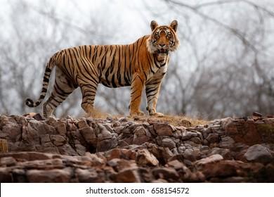 Tiger in der Natur Lebensraum. Tigermännchen steht auf der felsigen Klippe. Tierwelt mit gefährlichem Tier. Heisser Sommer in Rajasthan, Indien. Trockene Bäume mit schönem indianischem Tiger, Panthera tigris