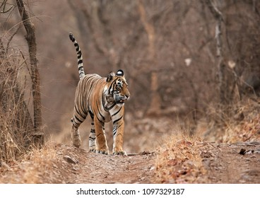 Tiger, Noor cub in the morning, Ranthambore Tiger Reserve