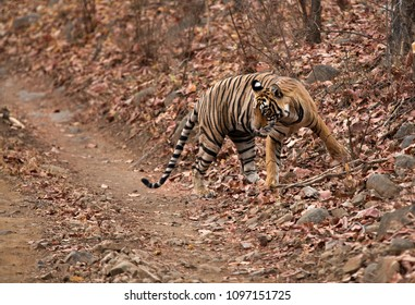 Tiger, Noor cub on the dry leaves at Ranthambore Tiger Reserve