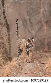 Tiger, Noor cub territory marking, Ranthambore Tiger Reserve