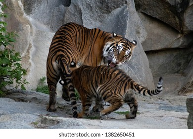 tiger with offspring at the zoo
