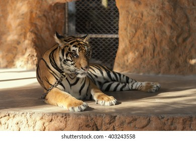 Tiger on the leash