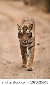 Tiger on the mud track
