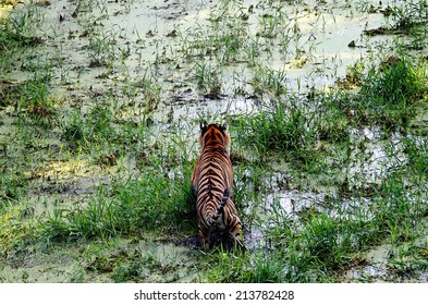 Tiger on the prowl in the water