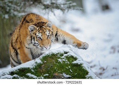 Tiger on snow before attack