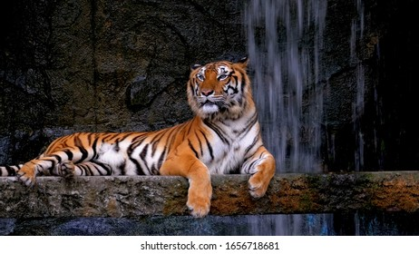 Tiger on a tree resting against the backdrop of a waterfall