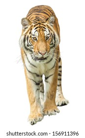 Tiger on the white background.