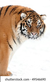 Tiger on the white background