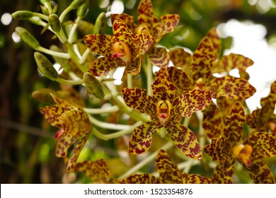 Tiger orchid flower or Leopard flower ,Grammatophyllum speciosum orchid , Giant orchid, Sugar Cane orchid or Queen of the orchids
