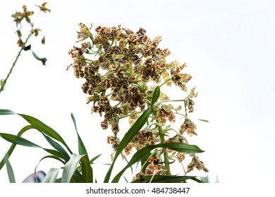 Tiger Orchid, Leopard Flower over white background.
