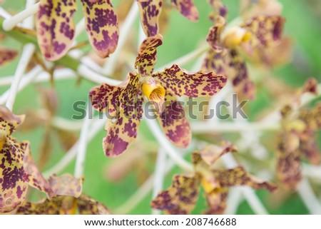 Tiger Orchid Sugar Cane Grammatophyllum Speciosum Stock