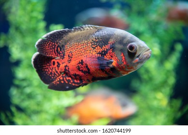 Tiger Oscar, a fish that attracts attention with intense colors