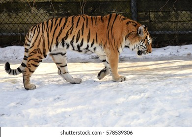 Tiger outside during the winter