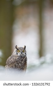 Tiger owl - Great horned owl -  Hoot owl