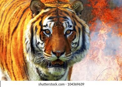 Tiger Panthera tigris altaica