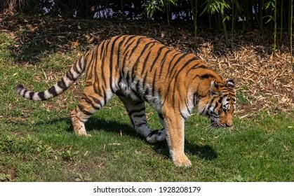 Tiger (Panthera tigris, family: felidae).