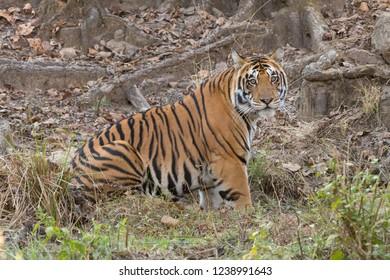 Tiger (Panthera tigris tigris) - Kanha NP