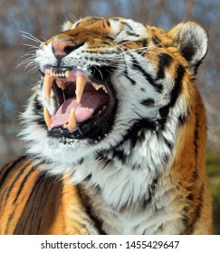 The tiger (Panthera tigris) is the largest cat species. It is the third largest land carnivore (behind only the polar bear and the brown bear).