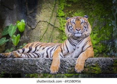 The tiger (Panthera tigris) is the largest cat species, most recognizable for their pattern of dark vertical stripes on reddish-orange fur with a lighter underside.