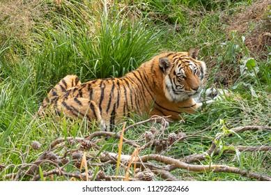 A tiger, Panthera tigris, the largest feline species