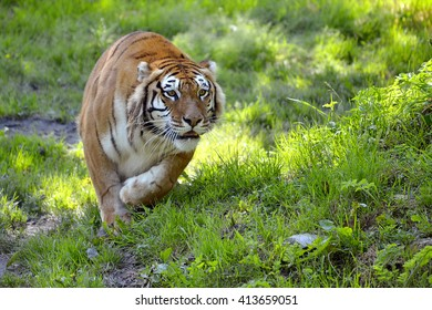 Tiger (Panthera tigris) on grass seen from front in attack position