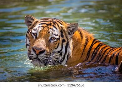 A tiger (panthera tigris) swimming in water.