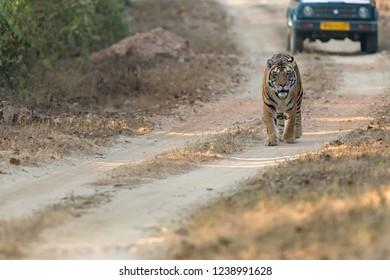 Tiger (Panthera tigris tigris) - Walk the Track