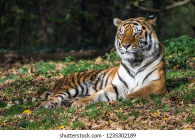 Tiger (Panthera tigris) in the zoo