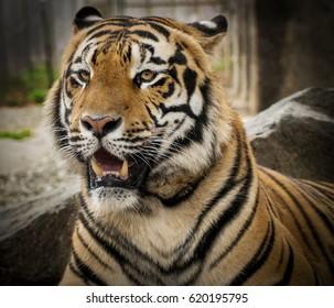 tiger in park